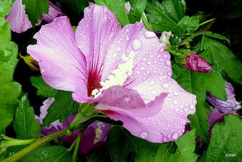 Fleurs d'althéa après la pluie