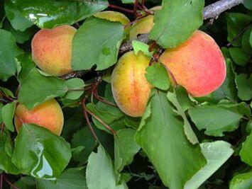 L'abricot des bienfaits à connaître en naturologie, santé, nurition