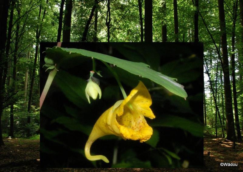La Balsamine des bois, Impatiente ne-me-touchez-pas (Impatiens noli-tangere) Balsaminaceae