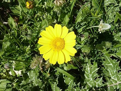 chrysanthème couronné à Dougga