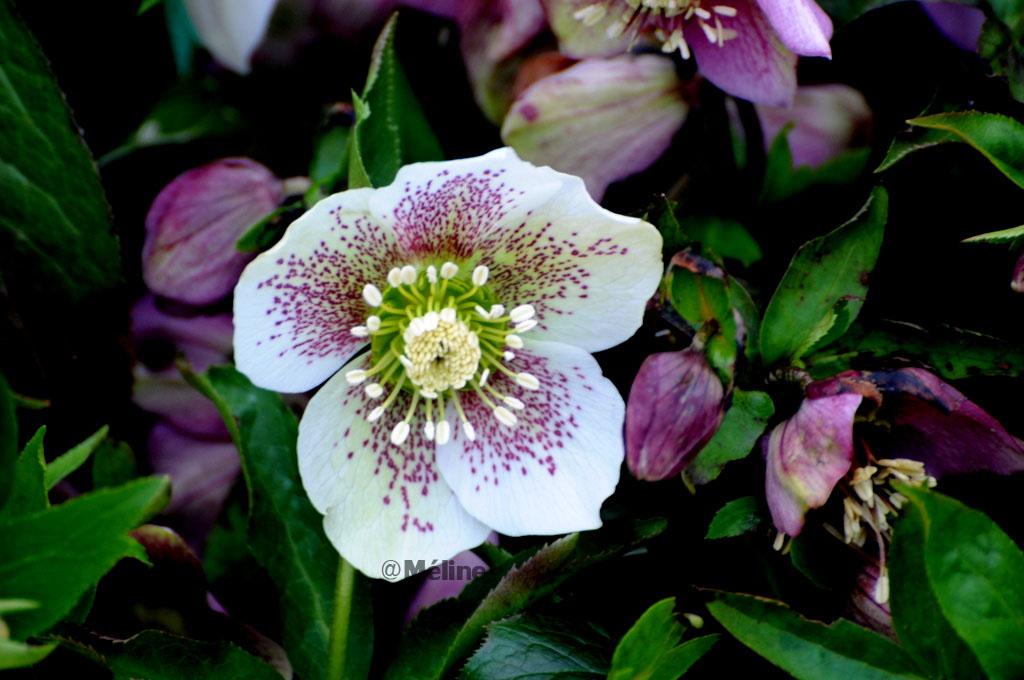 Les fleurs de mon jardin  (6) - symphonie en blanc !