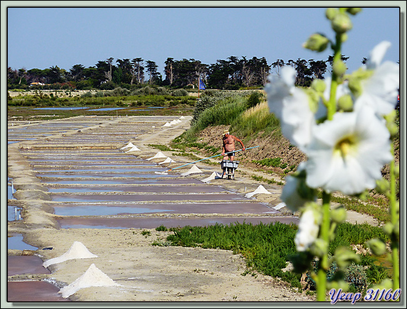 Zooming : du marais salant à la table salante en passant par le paludier - Ars-en-Ré - Ile de Ré - 17
