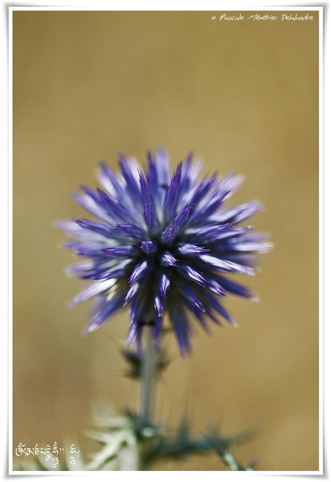Chardon bleu ou Boule azurée (Echinops ritro)