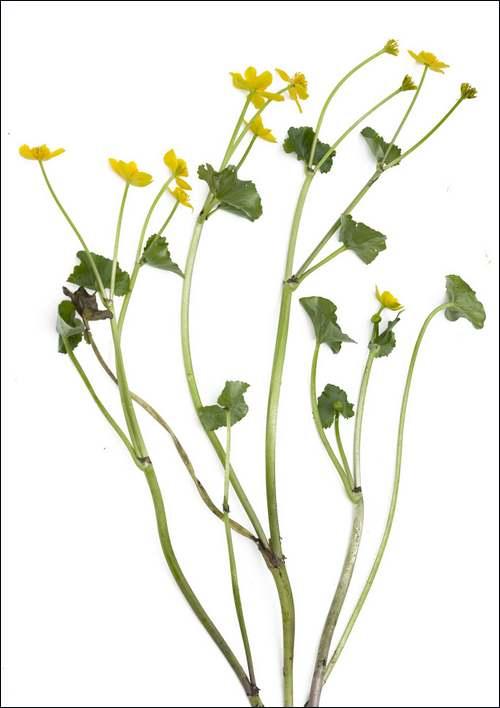 Vertus médicinales des plantes sauvages : Populage