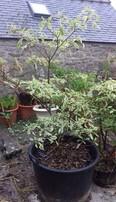 cornus controversa variegata (cornouiller des pagodes)