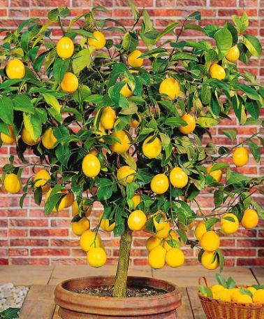 les Bienfaits du citron (vrai ou faut)