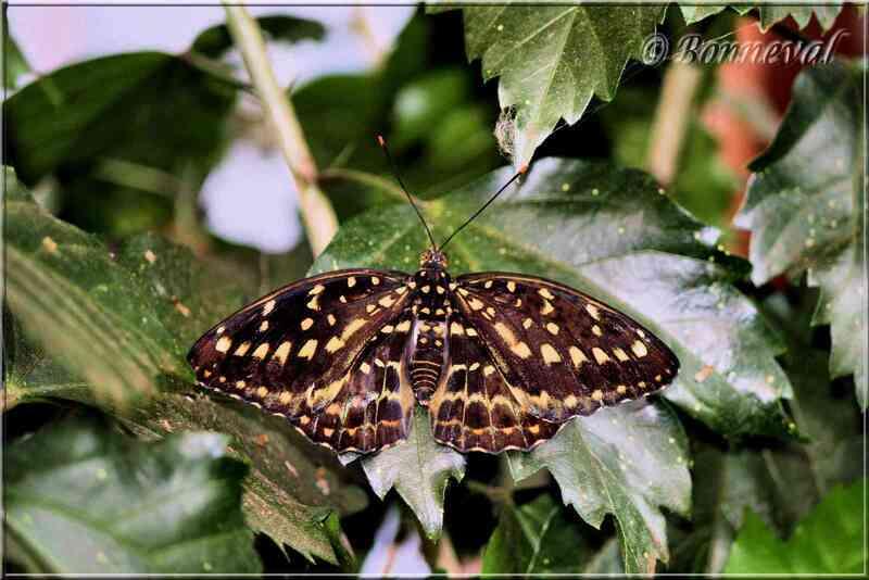 Papillons tropicaux Lexias dirtea Nymphalidae
