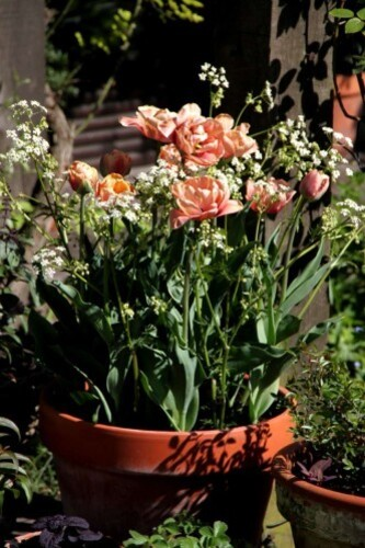 Tulipes Belle époque12