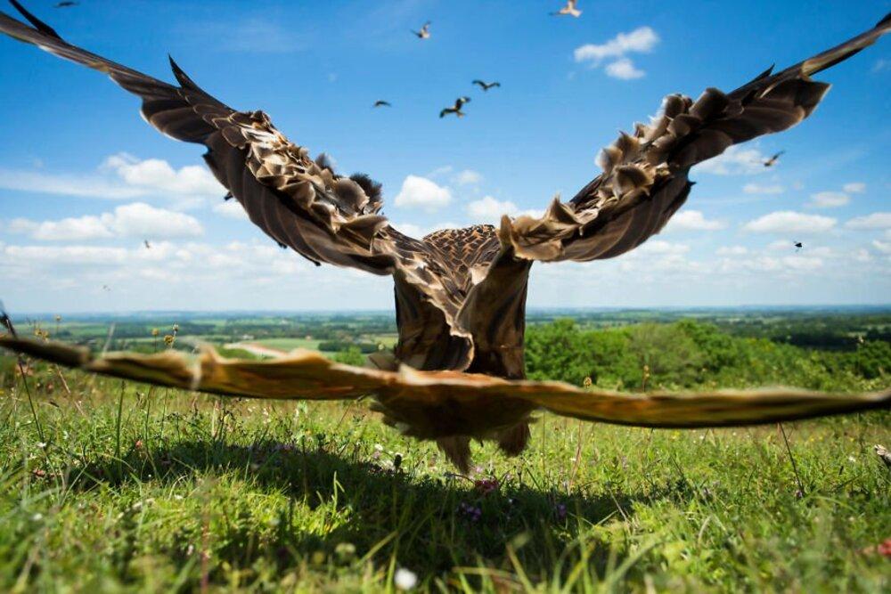 L'envol du Milan Royal / Jamie Hall, Royaume-Uni — Catégorie oiseaux en vol