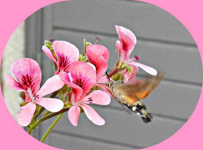 Papillon sphinx colibri dans les géraniums