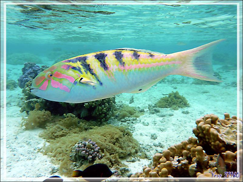 Girelle-paon à taches d'encre ou de Hardwicke ou Labre à taches d'encre, Sixbar wrasse or Parrotfish (Thalassoma hardwicke) mâle - Jardin de Corail - Motu Tautau - Taha'a - Polynésie française