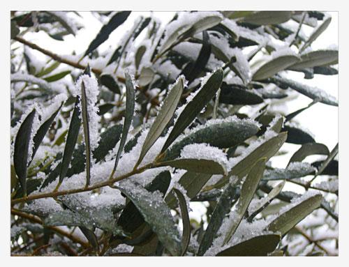 décembre 2005 : Oliviers sous la neige.