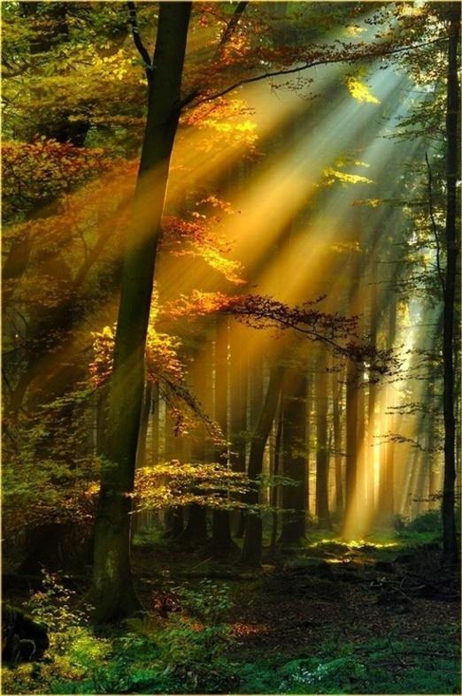 Raies(Rayons) Solaires D'or dans Forêt noire,