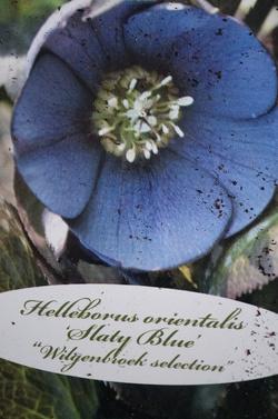 Promesse de fleurs : ma commande d'hellébores