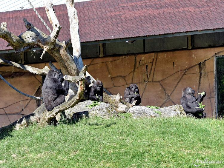Photos de Gorilles - Zoo de Beauval