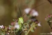 Grande sauterelle verte immature