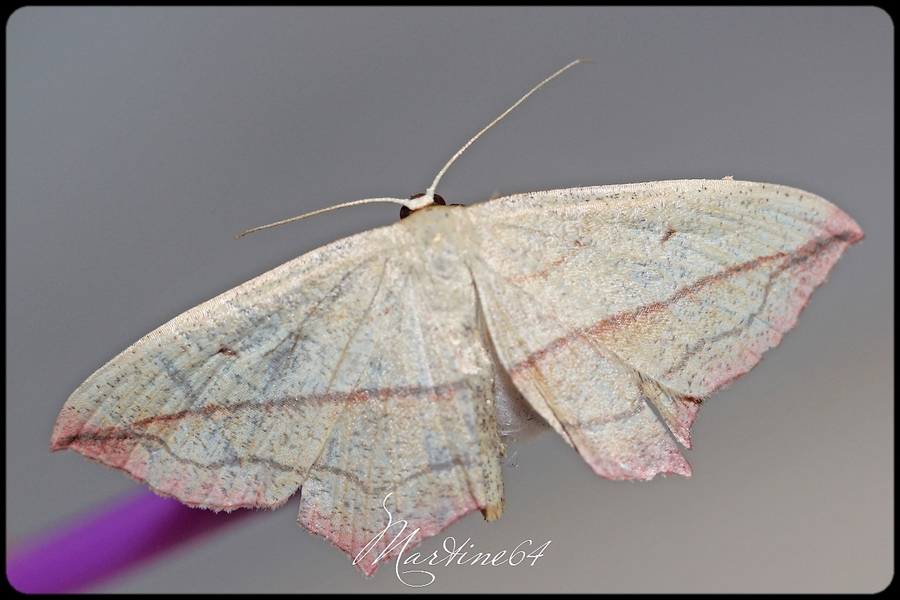 Papillon : la phalène auguleuse