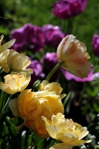 Tulipes Charming Lady5