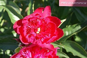 pivoine feu artifice