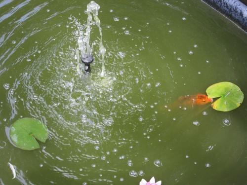 Le nénuphar et le poisson rouge !