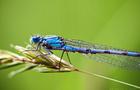 Aeschne bleue