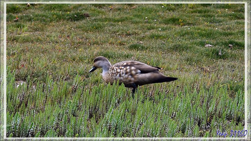 L'Isla Solitaria et la lagune du Lago Argentino avec ses oiseaux - El Calafate - Patagonie - Argentine