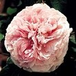 Rosier ancien 'Jacques Cartier'