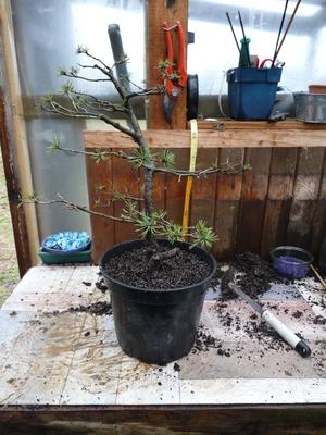 Rempotage d'un pin bonsaï