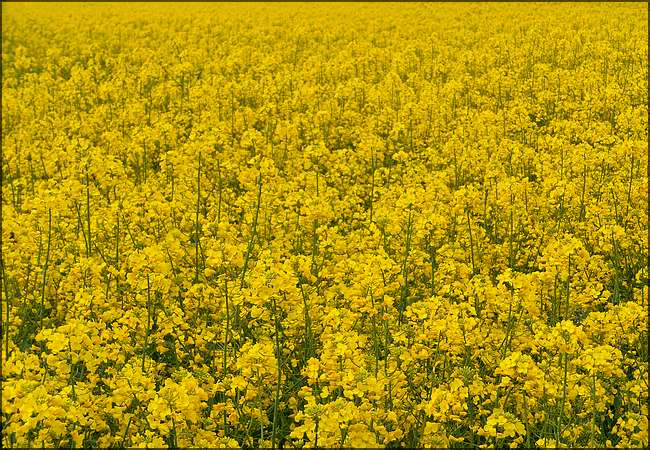 Horizon jaune d'or
