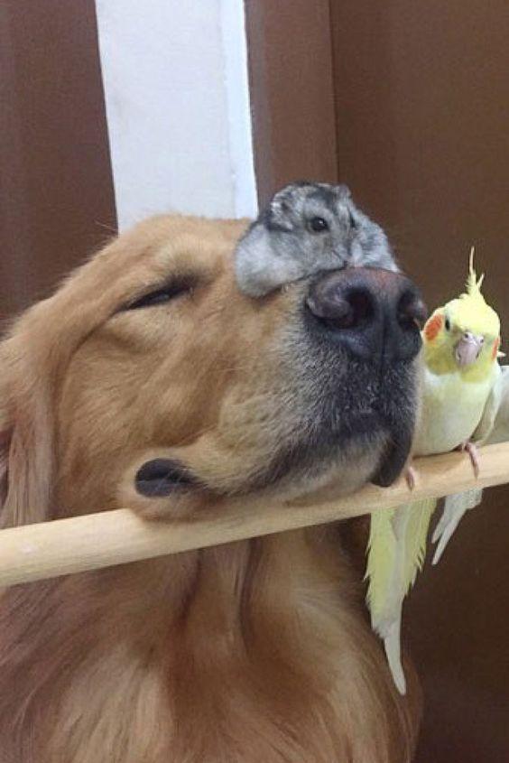 Une autre sérrie de Goldens avec d'autres animaux