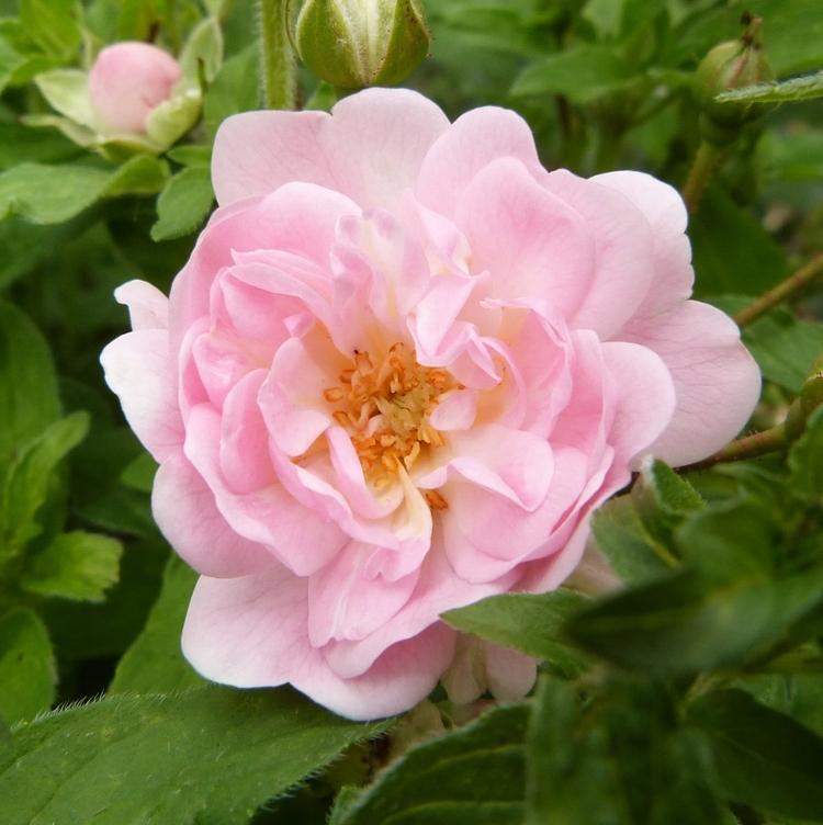 Le rosier petite françoise...premiere rose en juin 2014