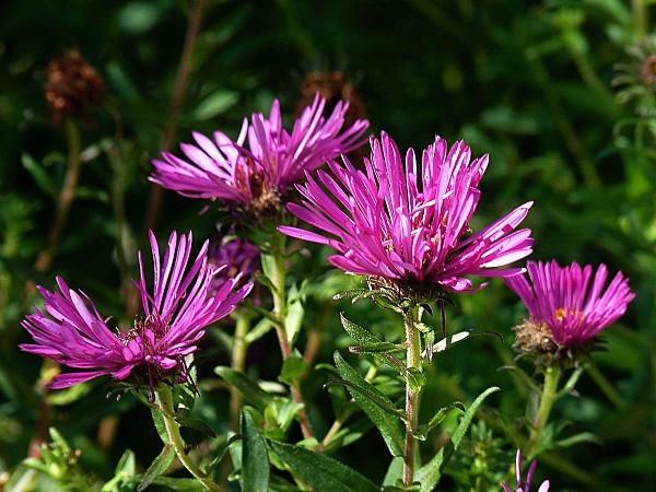 Aster mauve bouquet