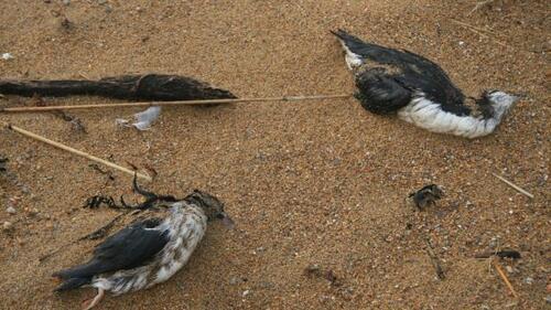 Après les boulettes de fuel .. les oiseaux .