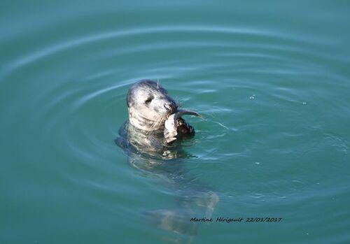 Vu ....Un phoque dans le port de la Turballe