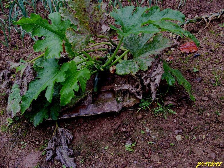 Jardin/potager: Encore un légume quelque peut passé de saison....