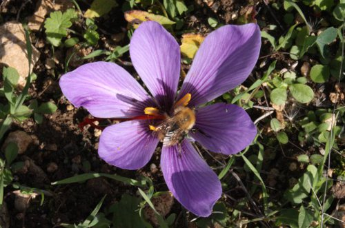 Le grand Almanach de la France : La France d'autrefois : la cueillette des fleurs