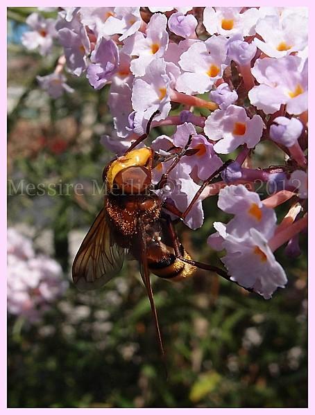 Volucella-zonaria-femelle.Syrphe-encadrement-18.jpg