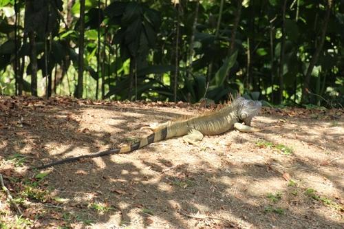 Iguanes du Costa Rica