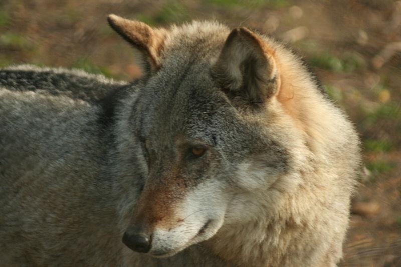 Très Loup d'Europe - Loups et Légendes CY42
