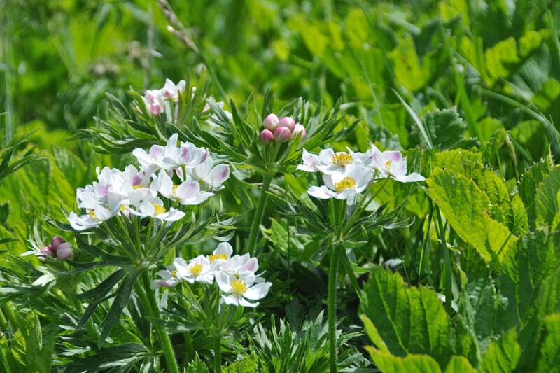 anémones à fleurs de narcisse