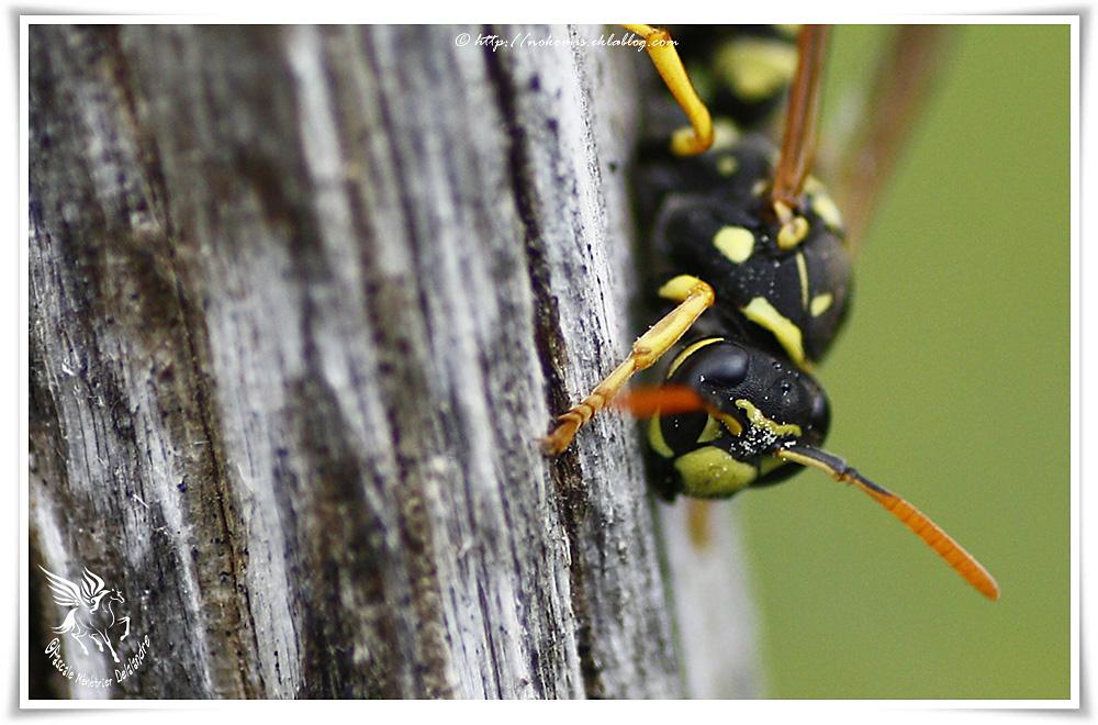 Polistes gallicus femelle