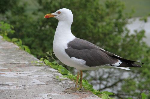 Goéland Brun (Lesser Black-backed Gull)