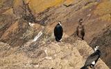 Grand cormoran - p130