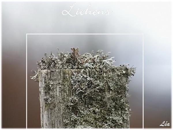 _MG_6964-lichens-sur-piquet.jpg