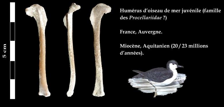 Humerus oiseau de mer juvenile copie3