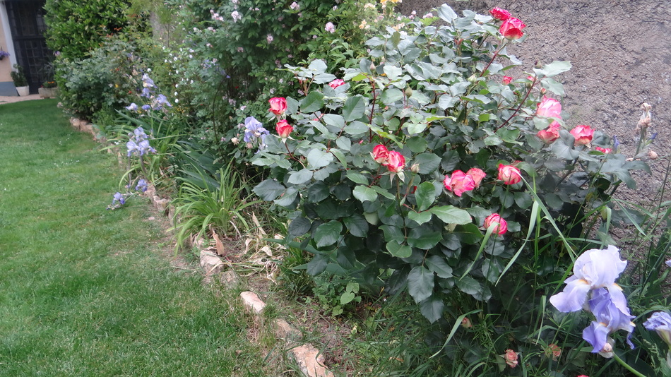 Rosier à Fleurs Groupées Betty Boop