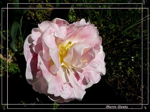 Tulipe Angélique