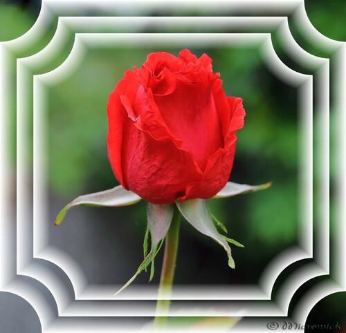 Jeune rose
