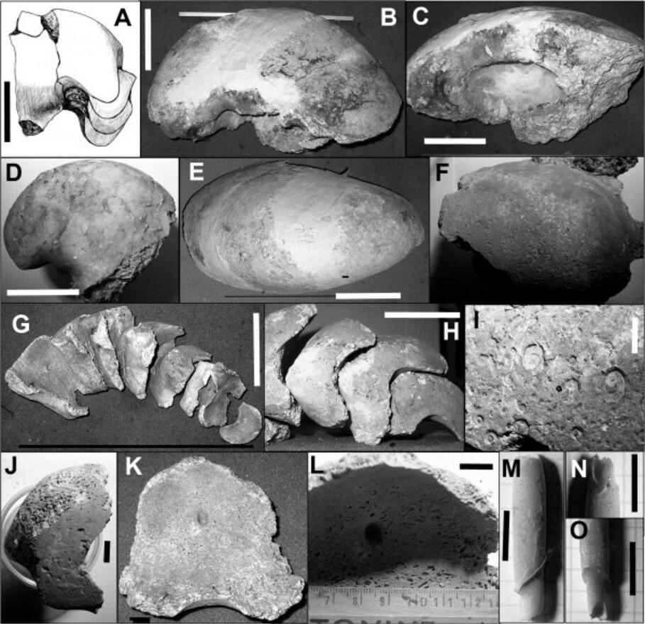 Hercoglossa scanica (Rozenkrantz, 1970)-copie-1