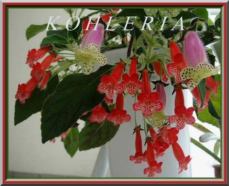 Fleurs cultivées : K